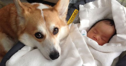 他們原本擔心家裡的狗狗會傷害到剛出生的小寶寶,但過了幾天後他們才發現錯得離譜!