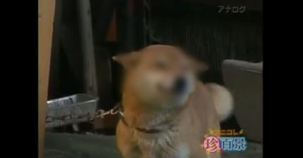 Wow...我沒看錯嗎?這隻柴犬是真的在笑嗎?!
