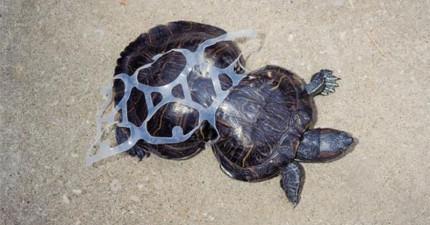 這隻小烏龜20年前被塑膠套毀了他的身體,但現在,他變成了改變這世界的動力。