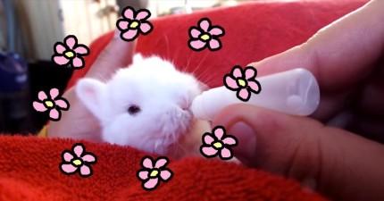 這隻2週大小兔兔吸奶嘴的爆炸可愛模樣有可能可以終於讓世界和平!