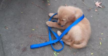 他的人類爸爸下半身癱瘓坐輪椅空不出手來溜他,但看看他超可愛的解法!