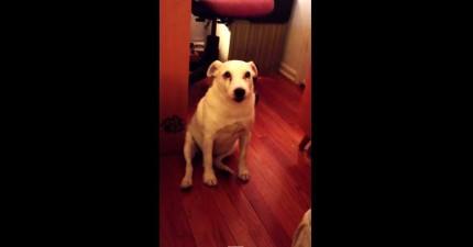 這隻狗狗做錯事回家被抓到,被罵時「屁屁倒車的絕招」把主人給笑到完全氣不起來!