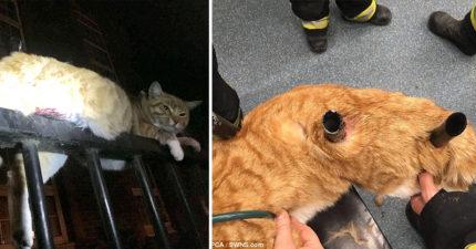 橘貓落地失誤硬生生「被欄杆刺穿2個洞」無法動彈,超勇敢不哭叫還「發出呼嚕聲」…