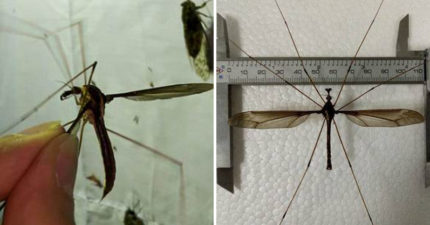11cm巨大蚊「不靠吸血維生」 展開比手掌大卻溫馴到想當寵物
