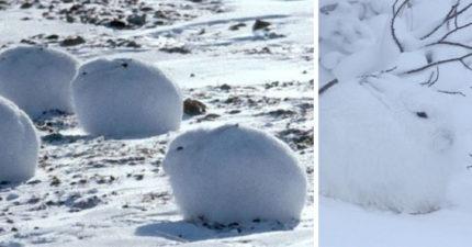 「毛茸茸大福」佈滿雪地 「站起來」卻變身美腿草泥馬!