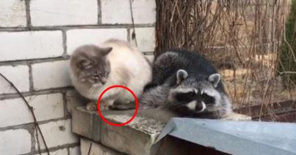大膽刁民!小浣熊想跟喵皇交朋友 「偷偷摸喵皇小手」下場太好笑!
