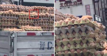 太熱了!卡車雞蛋突然「波波波波」 直接熱出一堆新生命!