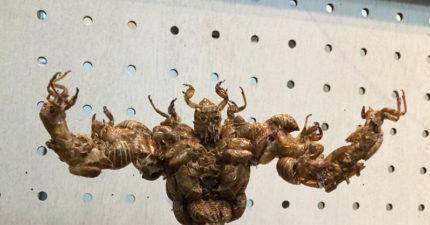 超狂!日本學生用「蟬殼」打造模型 意外釣出手作強人