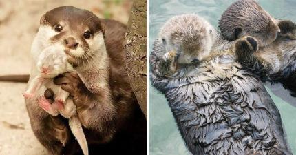 為什麼海獺睡覺要牽手?20個「原因讓人超驚訝」的動物行為