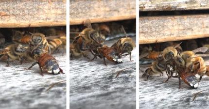 影/堅持住啊!小蜜蜂慘被蜂蜜黏住 同伴「小手手拼命清理」:我們不會放棄你的QQ