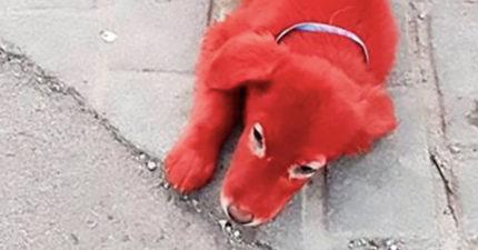 當生命成為噱頭...希臘出現「鮮紅小狗」 動保人心痛:狗就不會看長相愛人