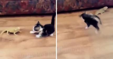 後面有刺客!小貓被嚇到「空中連翻」 鬣蜥一臉無辜:人家什麼都沒做啊...