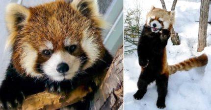 忍術影分身之術!小熊貓「從頭到尾神同步」 網友看到迷濛:以為什麼森林妖術~