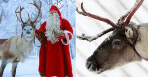 都擔心聖誕老公公安危...馴鹿視力比狗還差 拉雪橇什麼的「根本不可能發生」尤其更怕紅色!