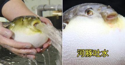 有吃過河豚沒看過河豚吐水的樣子?網友被「比水庫洩洪還猛」的畫面嚇歪:哪來的容量!