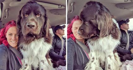 想養熊?養牠就對了!18隻根本是「超大型發熱娃娃」的紐芬蘭犬❤