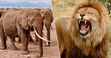 盜獵者私闖國家公園「狙擊快絕種犀牛」 大象出現後「報應從天降臨」還變獅子晚餐!