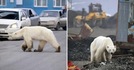 北極熊為了覓食「橫跨1600公里」 誤闖工業區「翻垃圾吃」網心碎:人類還在吹冷氣?