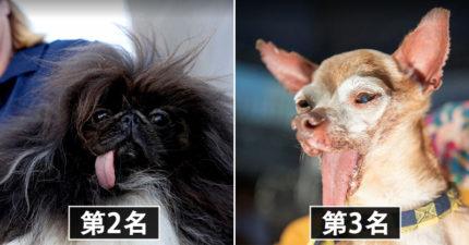 2019年「世界最醜汪星人」排名出爐!狗界「犀利哥」驕傲拿冠軍 主人:牠付出了很多…