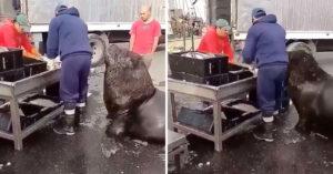超巨海獅用小短手「滑到魚市場」求餵食 網看到「超誠懇眼神」笑翻:表情太萌❤