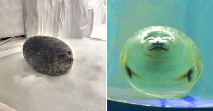 他在大阪海游館意外捕捉到「謎樣圓潤生物」 網看「超熟悉身影」驚覺:這超好吃!