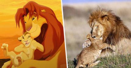 肯亞獅子「現實重演」《獅子王》經典場景 「超有愛畫面」融化全網:辛巴父子!