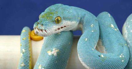 世界上最貴的蛇!超夢幻「水藍色皮膚+小白點」引暴動 價格能買「一台法拉利」