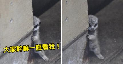 嬌羞狐獴寶寶「躲牆偷看」爆紅 終於「露正臉」網友被萌翻:可以看一輩子❤