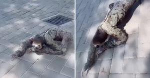 影/樹懶出現在大馬路?牠「趴在路上爬行」畫面被瘋傳 「超詭異動作」震驚全網:像長毛怪!