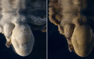 影/章魚睡覺時「身體瘋狂變色」 專家揭開「換色真相」人類也會做