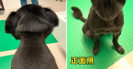 呆萌狗被剪成「妹妹頭」被狗朋友排擠 牠曝光「正面照」被網讚爆:是獅子王!