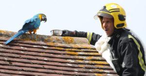 調皮鸚鵡「困在屋頂3天」下不來 救援人員趕到後…牠卻「大罵髒話」全場傻眼!