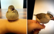 調皮文鳥偷玩化妝品...竟意外變新品種「龐克鳥」!
