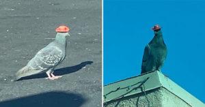呆萌鴿子因「戴著牛仔帽」爆紅 超可愛模樣卻被專家罵翻:太危險!