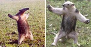 食蟻獸主動討抱抱?專家揭露「賣萌姿勢」真實含意:有種你來啊!