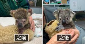 被狗狗從野火中救出來的「無尾熊寶寶」 康復前後對比超驚人!