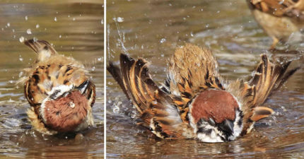他捕捉到精彩「麻雀出浴過程」甩身狂洗臉 下秒「超呆行為」太可愛❤