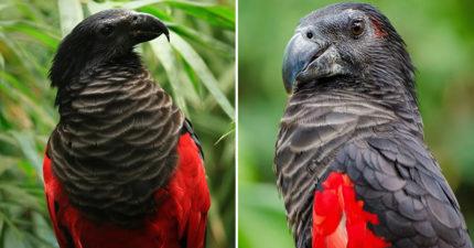 超罕見「德古拉鸚鵡」外型超霸氣 「紅色羽毛+黑色披肩」被封鳥界吸血鬼!