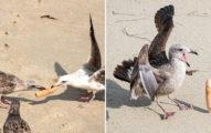 海鷗集體「搶奪姊夫」畫面瘋傳 專家卻怒罵「人類的手太賤」造成塑料污染!