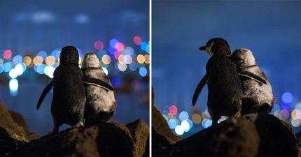 小企鵝每天準時到海岸邊「抱抱看海景」志工揭露超鼻酸原因