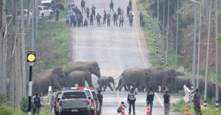 泰國象群「當三寶」害馬路癱瘓 警察:沒有人類客訴!