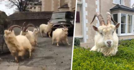英國驚見「大群山羊」接管道路 闖民宅「把草吃光光」連警察也管不了!