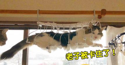 貓奴分享「主子被卡在半空」出糗照 喵星人的「啤酒肚」意外現身!