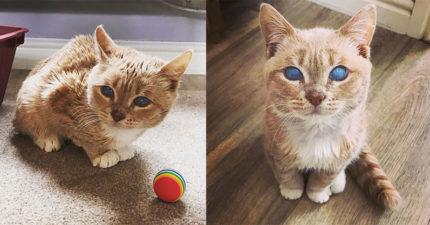 夢幻藍眼貓「出生就被丟掉」 獸醫收養才發現:牠永遠長不大