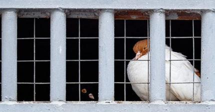 印度警察「逮捕鴿子」深入調查:懷疑是「間諜」!