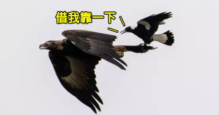 白目喜鵲「爽騎老鷹」搭便車 攝影師:爽一半差點出事!