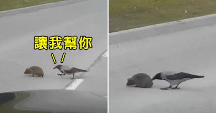 影/好心烏鴉「帶刺猬過馬路」 網戳破真相:牠會被吃掉!