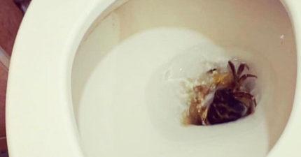 台東妹打開馬桶「出現活螃蟹」嚇歪 專家:牠在躲人類
