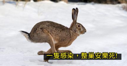 美國發現「兔兔伊波拉」新病毒 沒有兔子「等得到疫苗」來救命