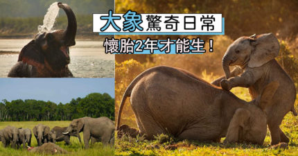 大象冷知識你懂多少?牠們「用腳溝通」:32公里外都聽到